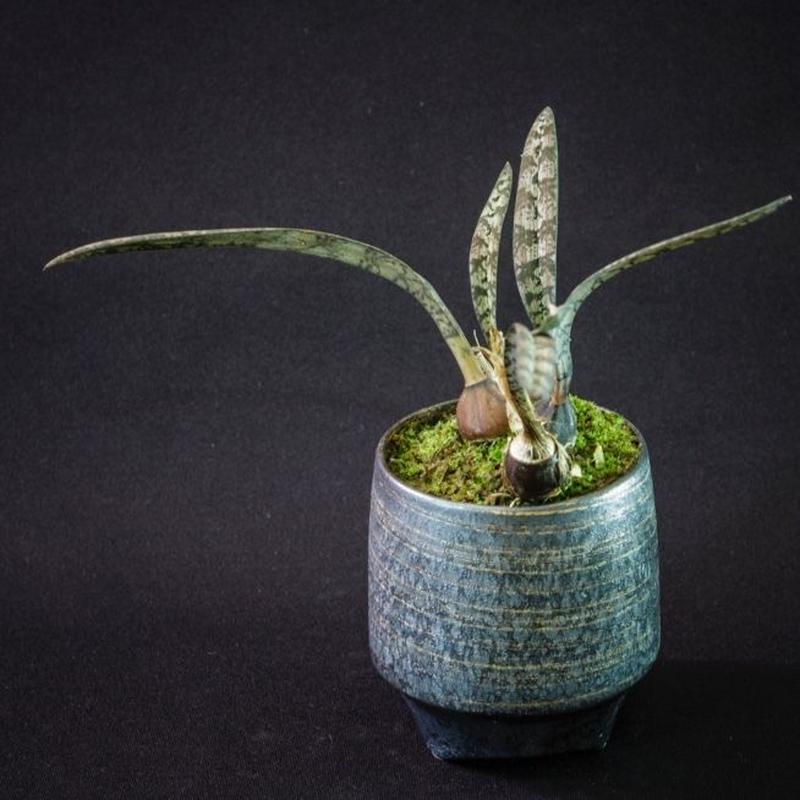 オエセオクラデス スパツリフェラ 蛇皮蘭 Oeceoclades spathulifera