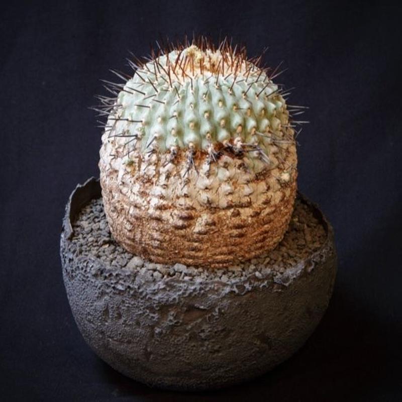 """コピアポア コルムナアルバ """"孤竜丸"""" Copiapoa cinerea var. columna-alba"""