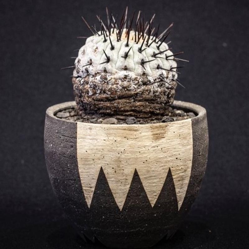 コピアポア コルムナアルバ 孤竜丸 Copiapoa cinerea var. columna-alba