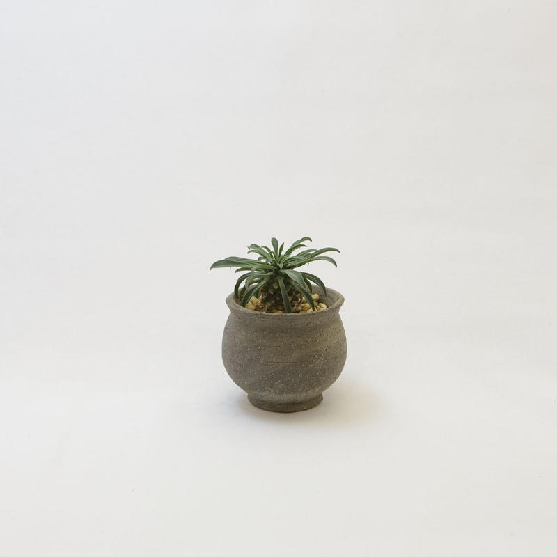ユーフォルビア・ソテツキリン.2 Euphorbia bupleurifolia