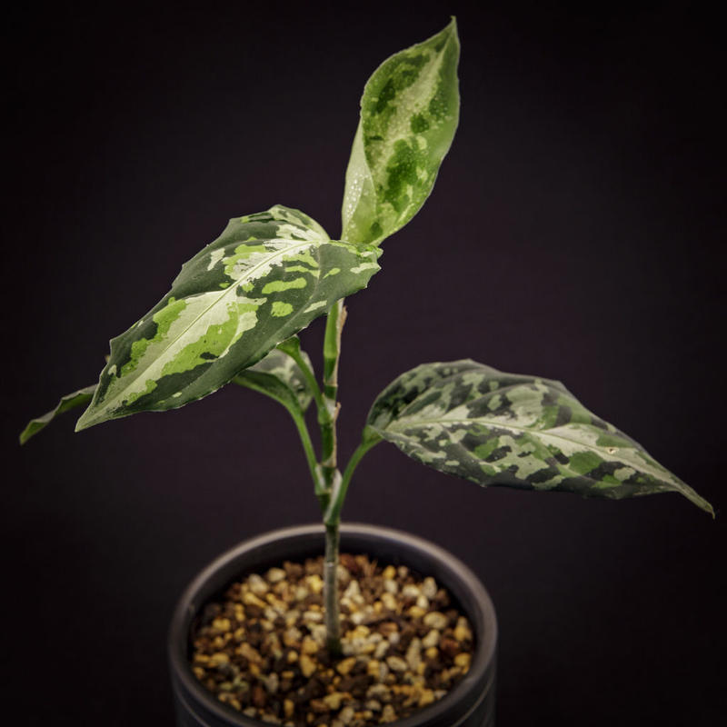 アグラオネマ ピクタム トリカラー.2  Aglaonema pictum tricolor