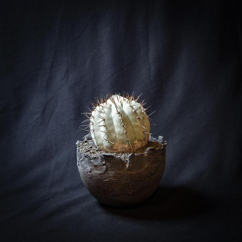 コピアポア シネレア 黒王丸.4 Copiapoa cinerea