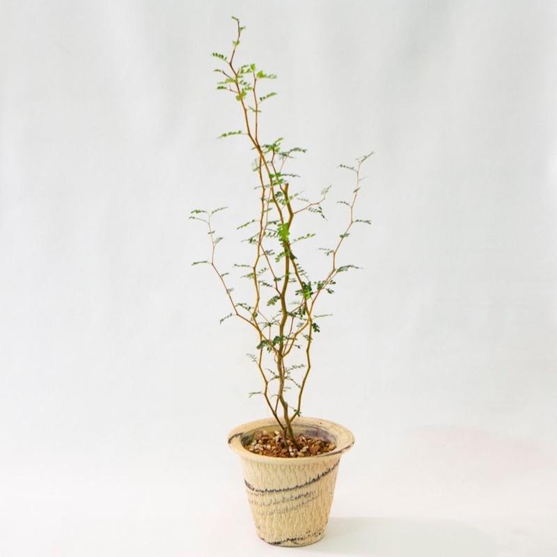 ソフォラ リトルベイビー Sophora prostrata 'Little Baby'