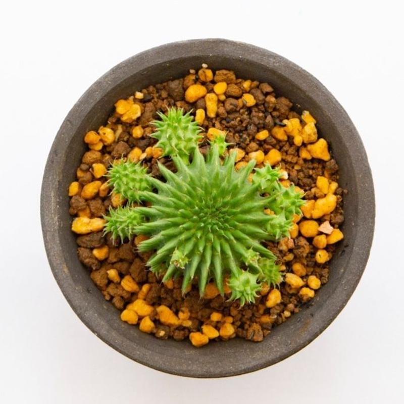 """ユーフォルビア スザンナエ """"ドラゴンボール(瑠璃光)"""".1 Euphorbia suzannae"""