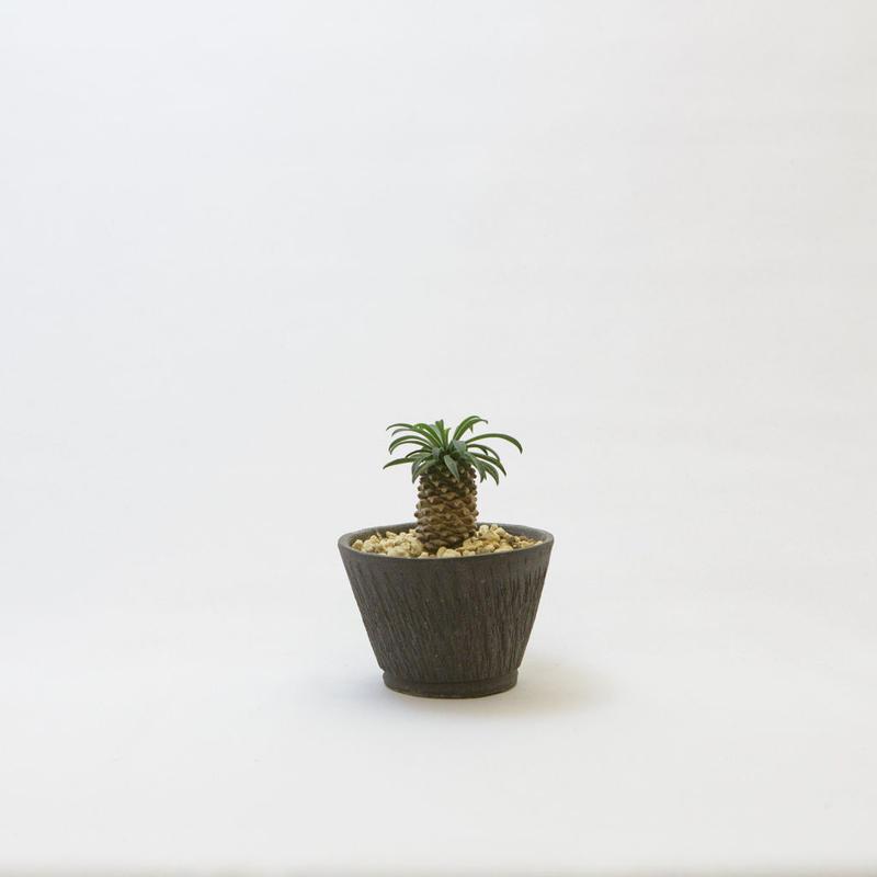 ユーフォルビア・ソテツキリン.1 Euphorbia bupleurifolia