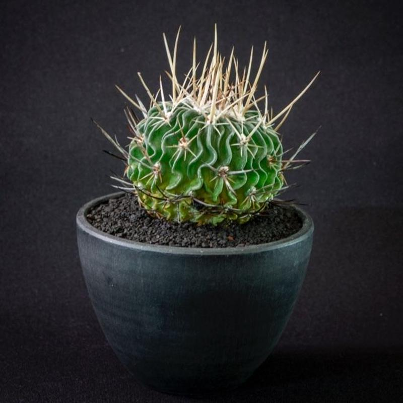 エキノフォスロカクタス 縮玉 Echinofossulocactus multicostatus