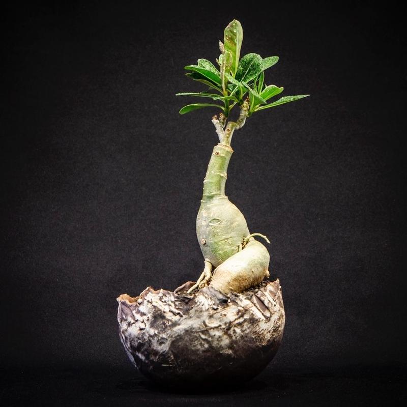 アデニウム ssp Adenium ssp