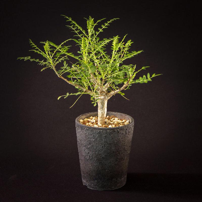 ボスウェリア・ネグレクタ Boswellia neglecta