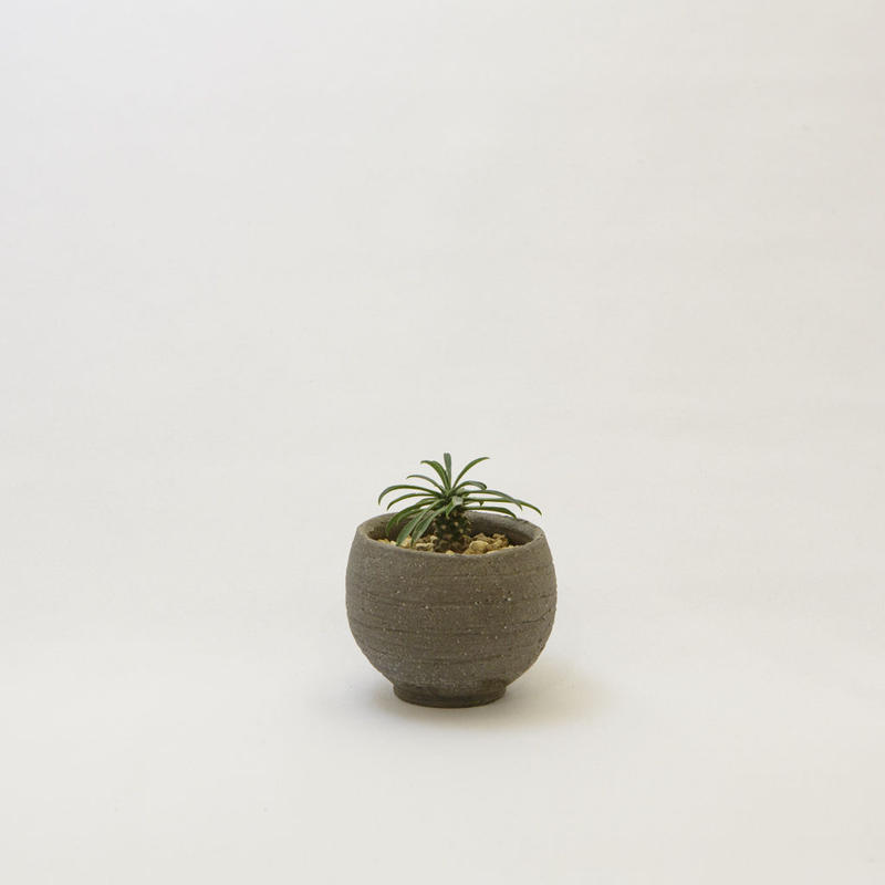 ユーフォルビア・ソテツキリン.3 Euphorbia bupleurifolia