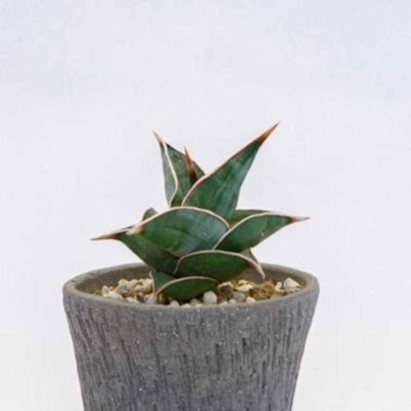 サンスベリア.1 Sansevieria