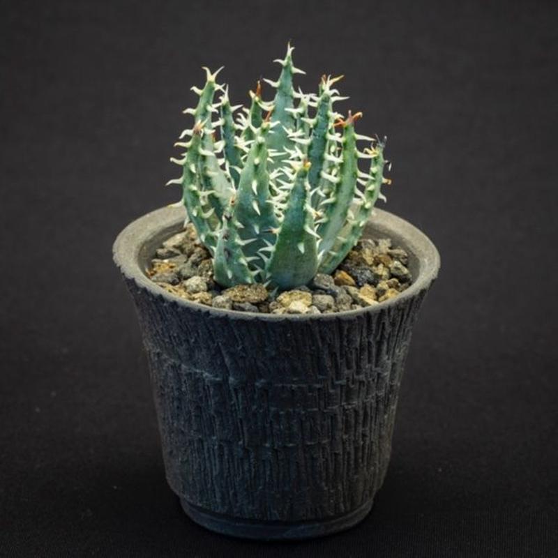 アロエ エリナケア.2 Aloe melanacantha ssp./var. erinacea
