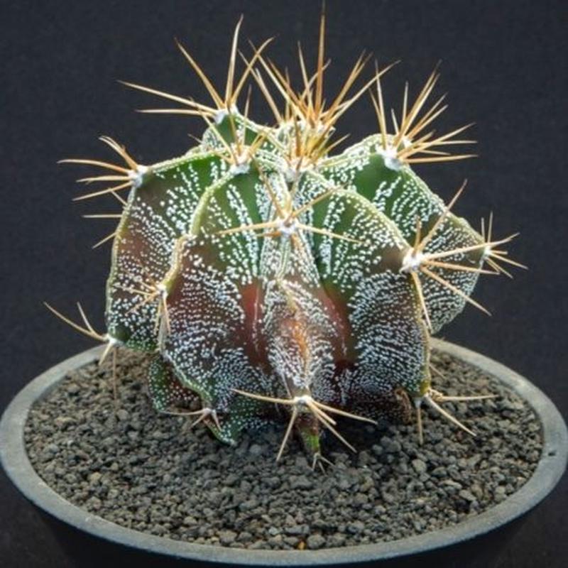アストロフィツム 般若 Astrophytum ornatum