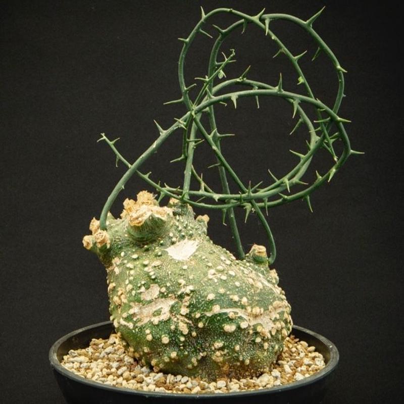 アデニア・グロボーサ Adenia globosa