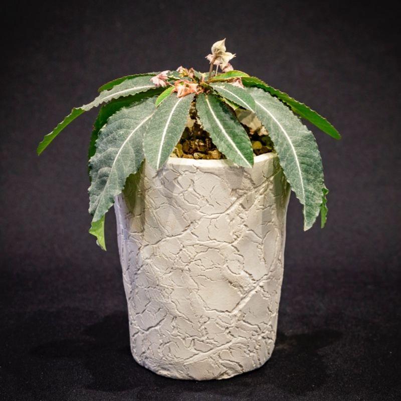 ユーフォルビア ラバティー Euphorbia labatii