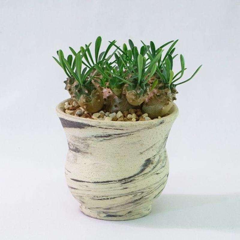 ユーフォルビア・峨眉山 Euphorbia 'Gabisan'