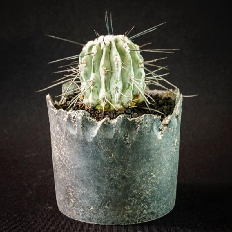 コピアポア シネレア 黒士冠 Copiapoa cinerea v. dealbata