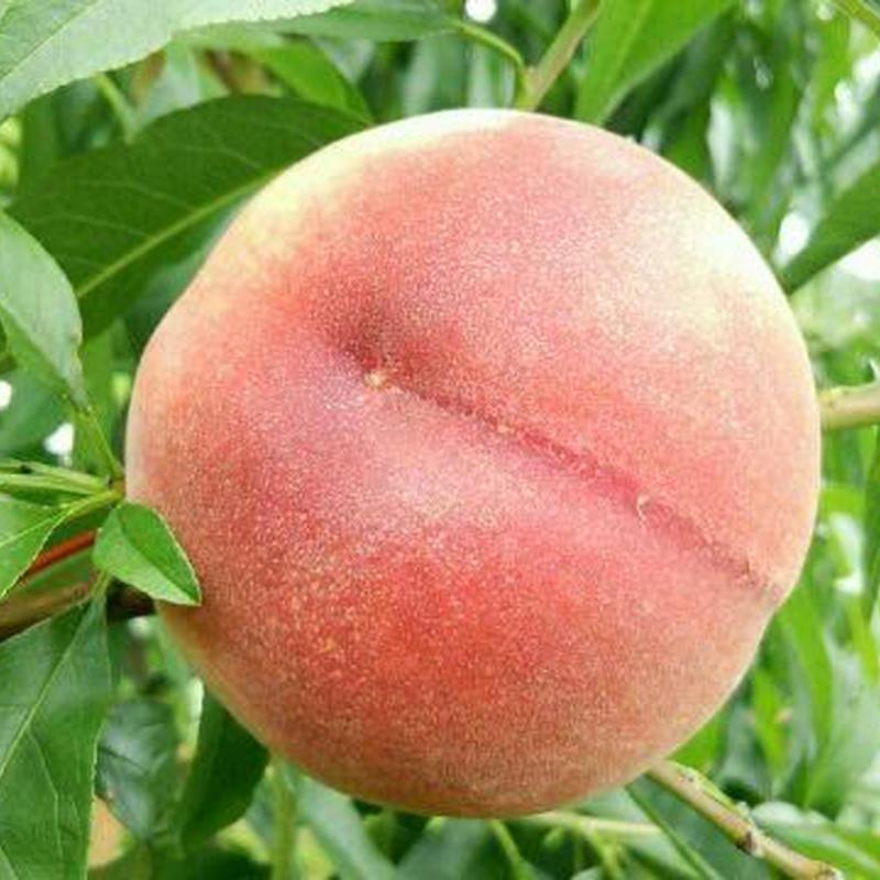 【最上とろ】糖度19度以上の桃!約1キロ!