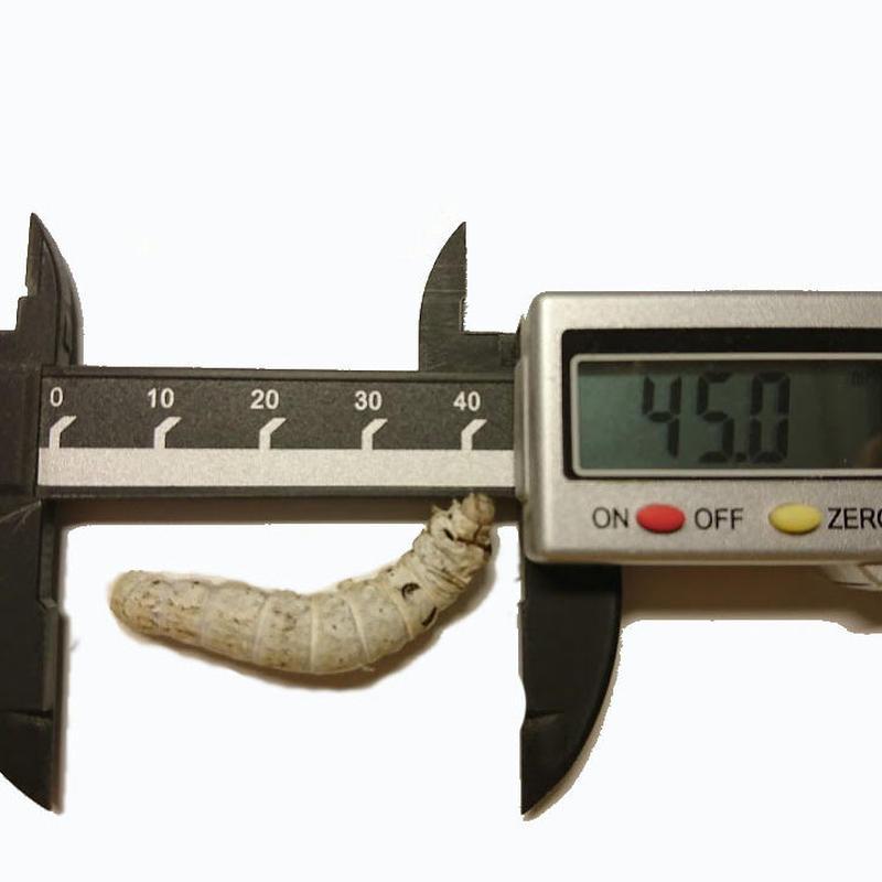 活き餌:シルクワームL(お試し30匹)