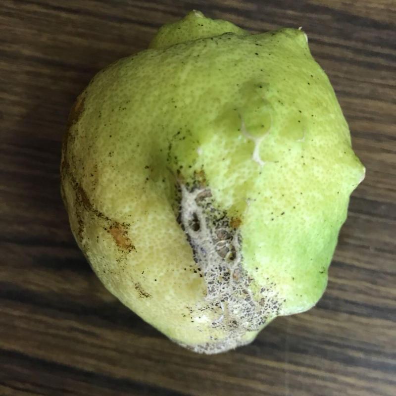 【無農薬・無化学肥料】加工用レモン5k
