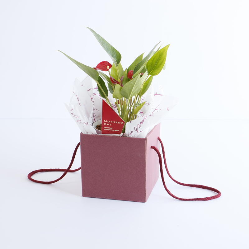 Mother's Day Anthurium BOX