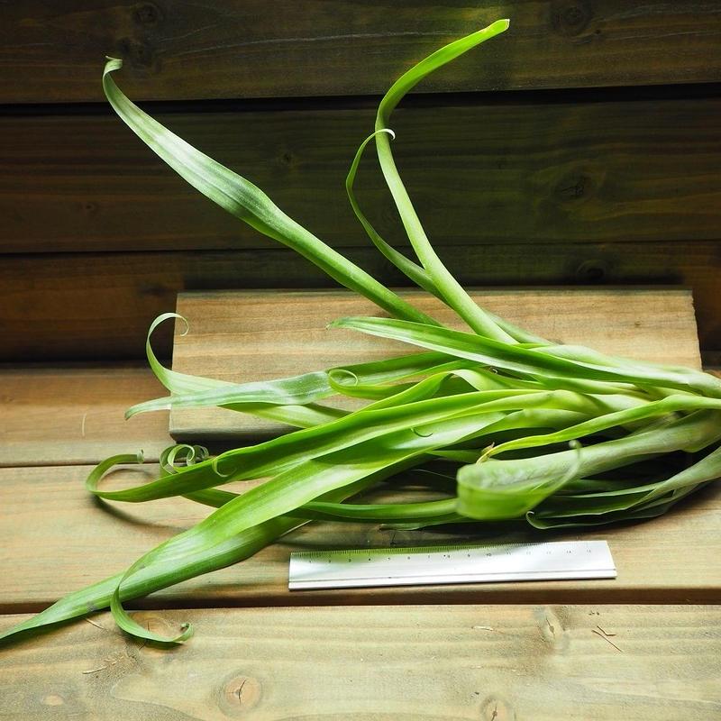 チランジア / スピクローサ (T.spiculosa)