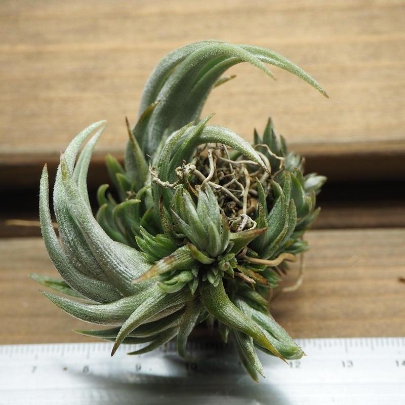 チランジア / クシフィオイデス CL株 (T.xiphioides)