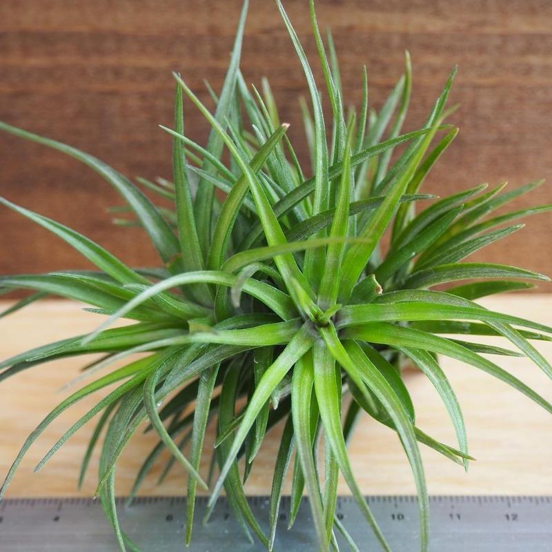 チランジア / テヌイフォリア パープルファン (T.tenuifolia 'Purple Fan') *A02/J12