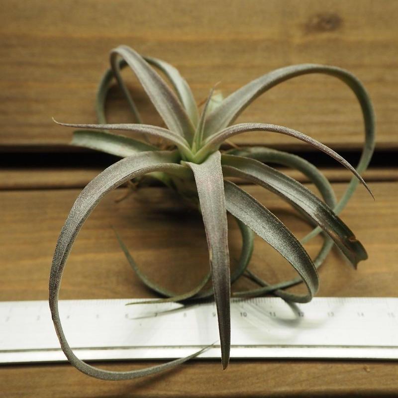 チランジア / チアペンシス Lサイズ (T.chiapensis)