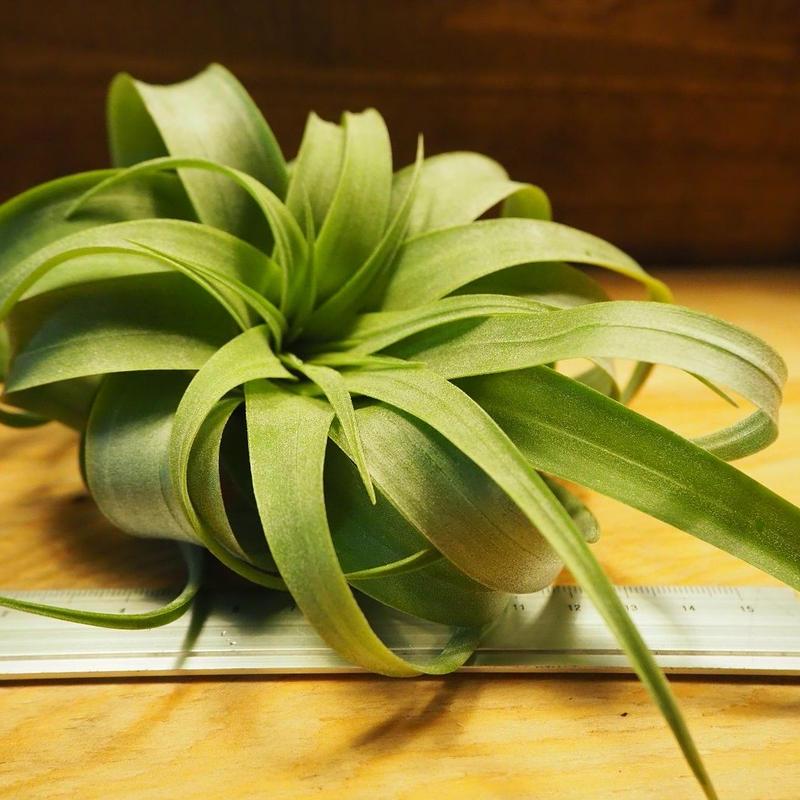チランジア / ストレプトフィラ × キセログラフィカ (T.streptophylla × T.xerographica) *A02/Ju07