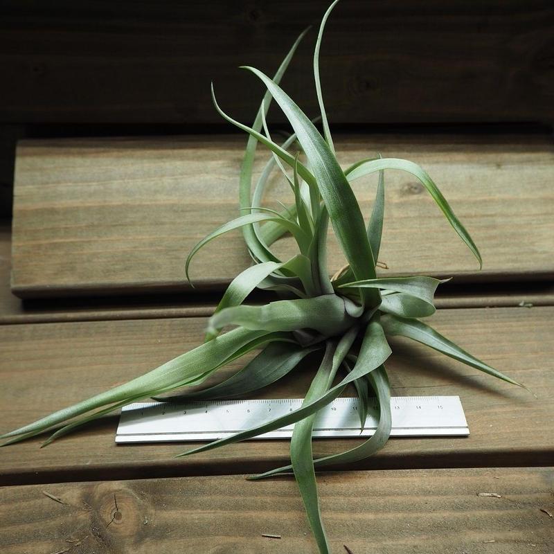 チランジア / セクンダ (T.secunda)