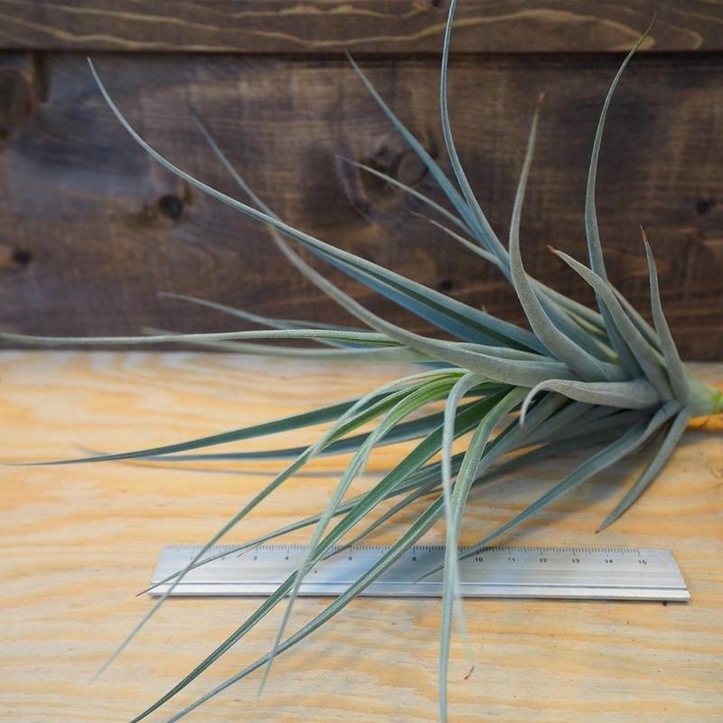 チランジア / イキシオイデス × ライヘンバッキー (T.ixioides × T.reichenbachii) *A02/J23