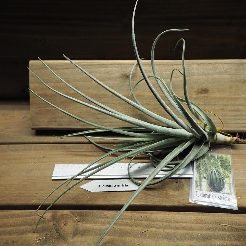チランジア / デュラティ × ストリクタ (T.duratii × T.stricta)