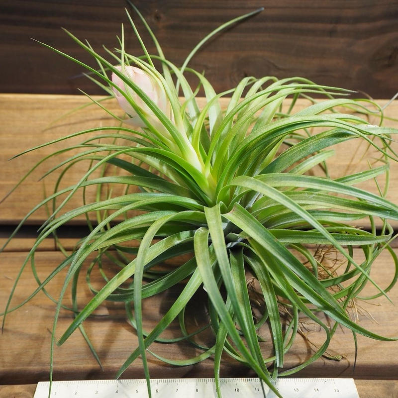 チランジア / ストリクタ ギガンティクス (T.stricta 'Giganticus')