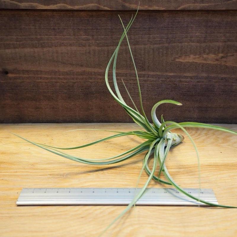 チランジア / ブラキカウロス × シーディアナ (T.brachycaulos × T.schiedeana) *A02/Ju14