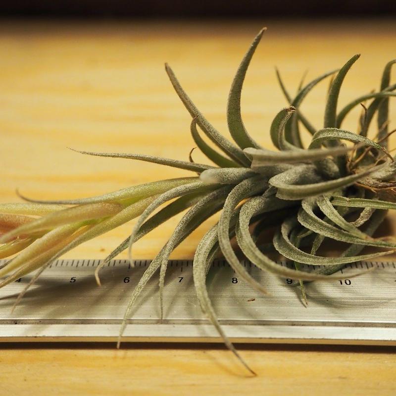 チランジア / スークレイ (T.sucrei) *A02/J07-02