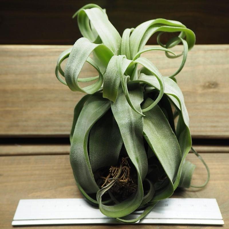 チランジア / ストレプトフィラ カーリータイプ (T.streptophylla) ※タイ農場産