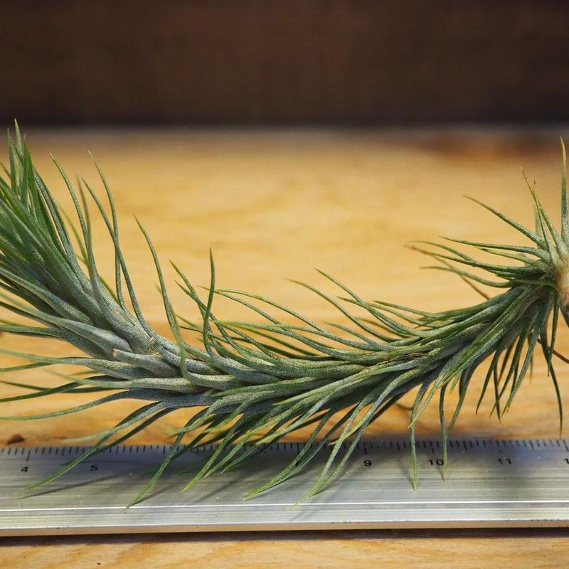 チランジア / フンキアナ M (T.funkiana) *A02/Ju14