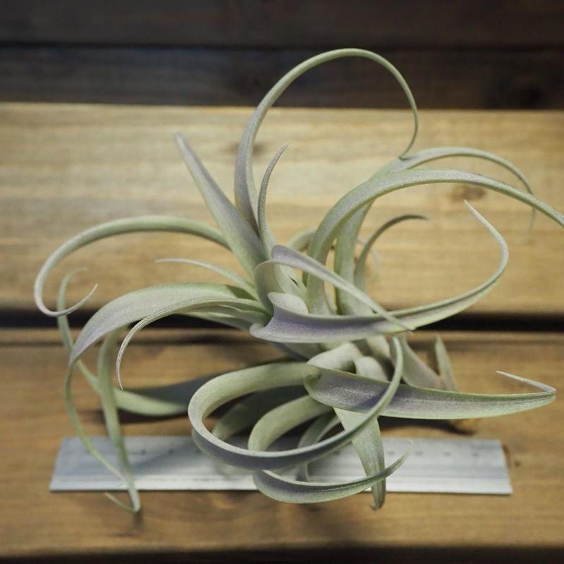 チランジア / ロゼオスカパ Mサイズ (T.roseoscapa)