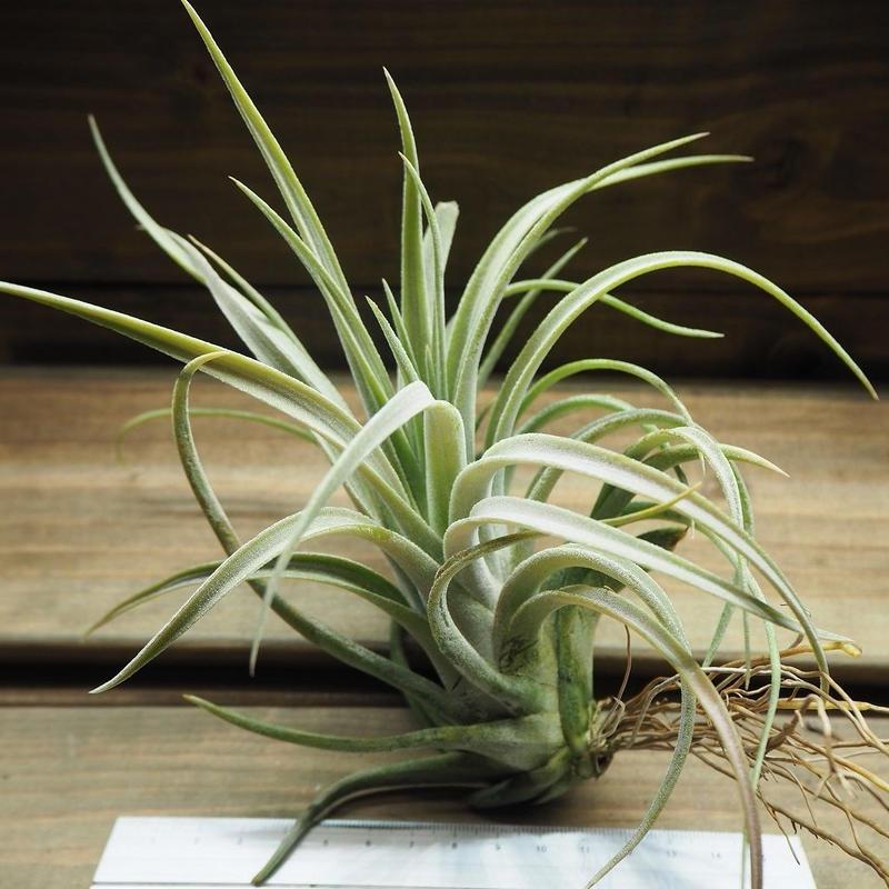 チランジア / チアペンシス × ベルティナ (T.chiapensis × T.velutina)