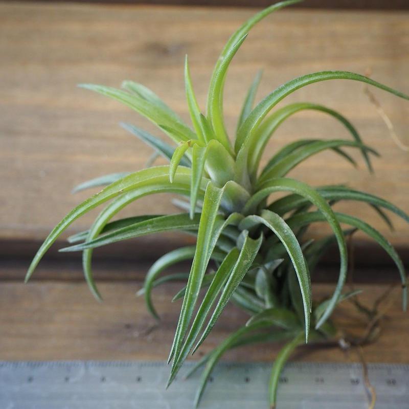 チランジア / ネグレクタ L (T.neglecta)