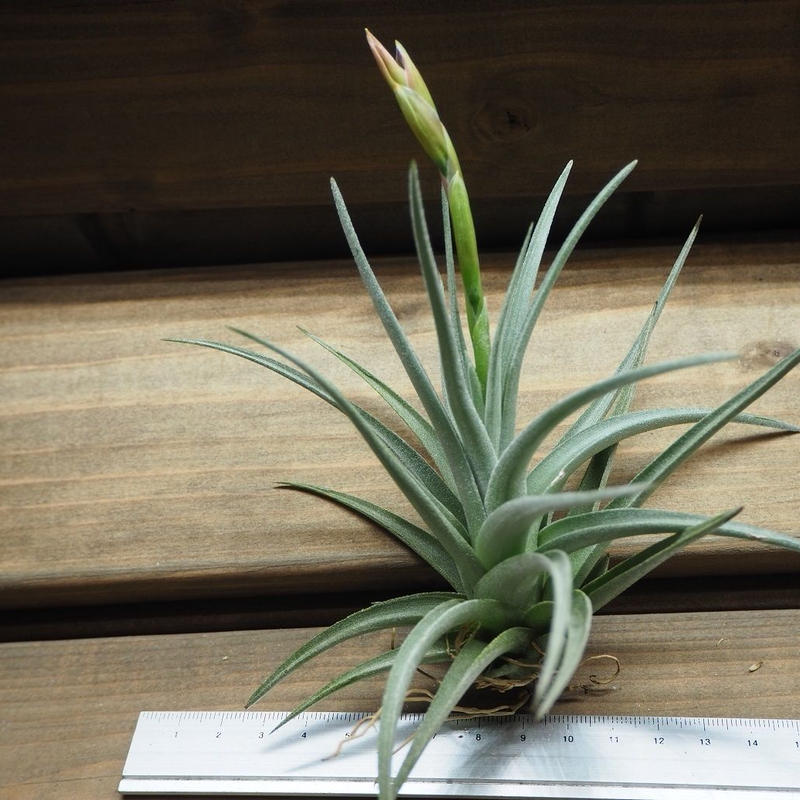 チランジア / ベルメホエンシス (T.bermejoensis) ※花芽付き