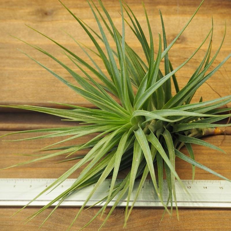 チランジア / ストリクタ × テヌイフォリア (T.stricta × T.tenuifolia)