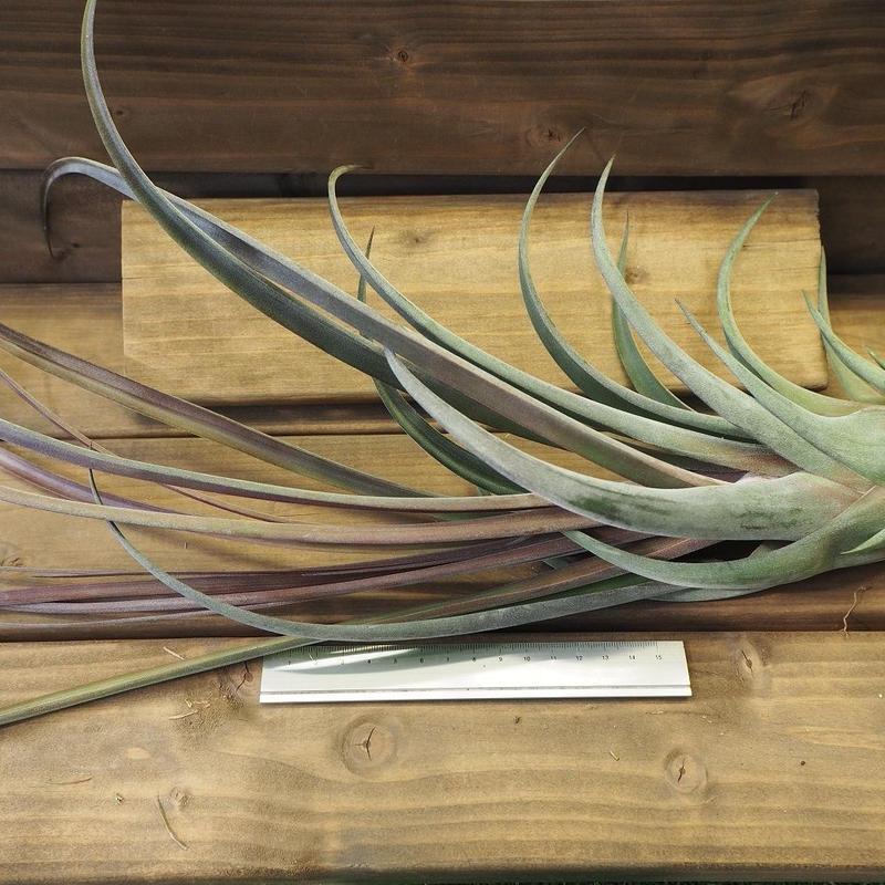 チランジア / ストレプトフィラ × ノバキー (T.streptophyll × T.novakii)