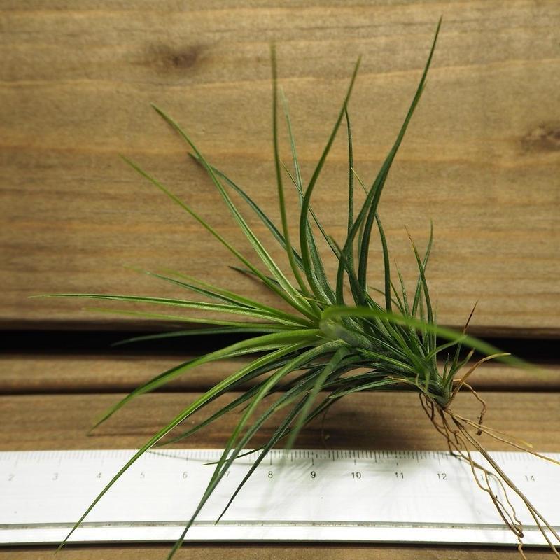 チランジア / カウレッセンス Sサイズ (T.caulescens)