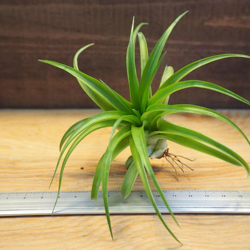 チランジア / ブラキカウロス グリーン (T.brachycaulos 'Green') *A02/Ju14