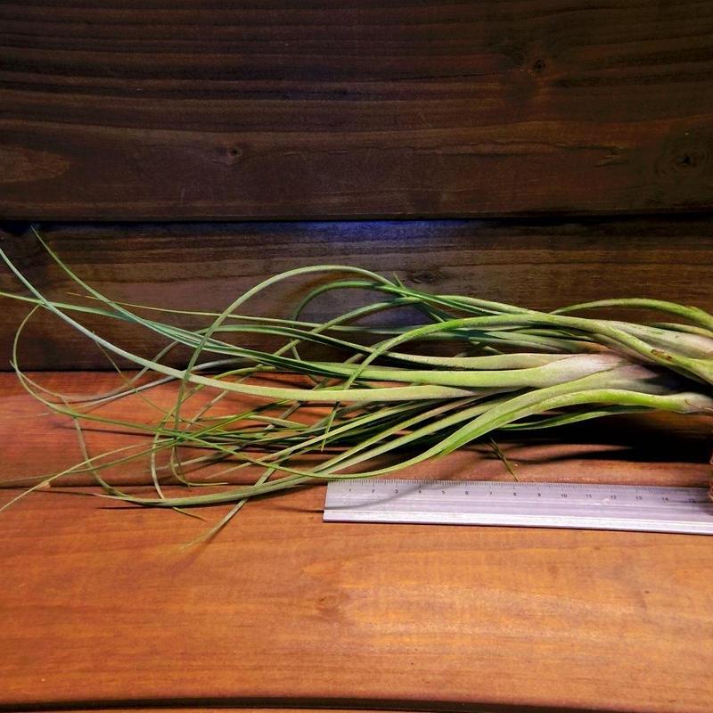チランジア / カプトメドーサ × フラベラータ (T.caput-medusae × T.flabellata)
