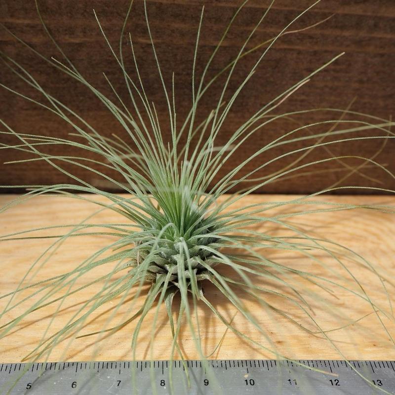 チランジア / フクシー グラシリス (T.fuchsii var. gracilis) *A02/J21