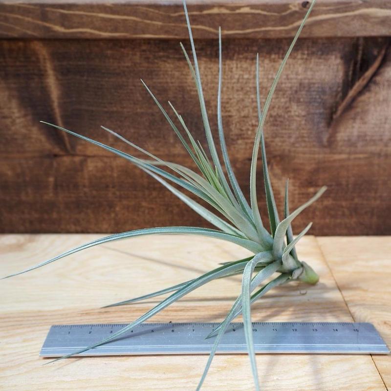 チランジア / アエラントス アルボフローラ (T.aeranthos 'Albo-Flora') *A01/M25