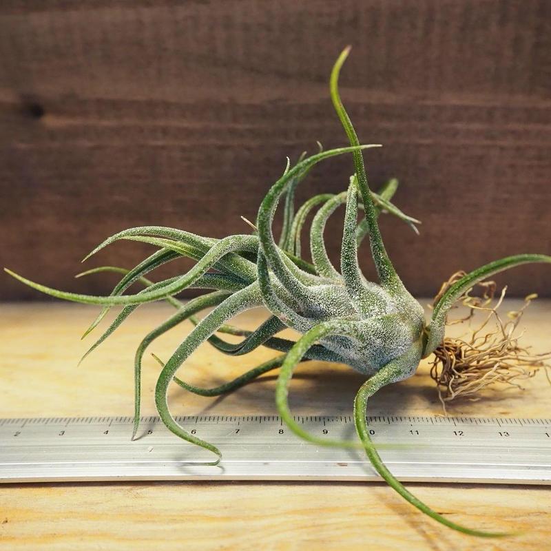 チランジア / プルイノーサ (T.pruinosa) *A02/Ju14
