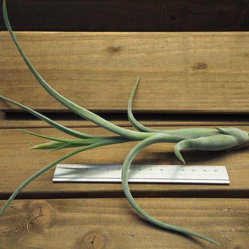 チランジア / インターメディア ジャイアントフォーム (T.intermedia 'Giantform')